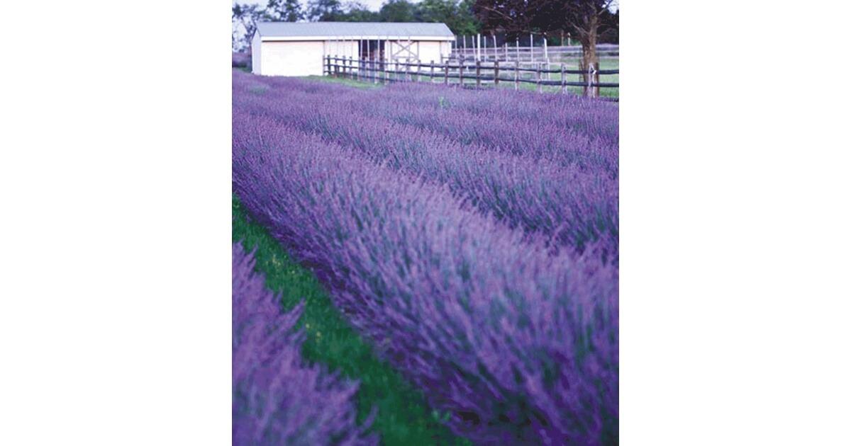 Lavendel \'Phenomenal®\', 2 Pflanzen Lavandula online kaufen | Die ...