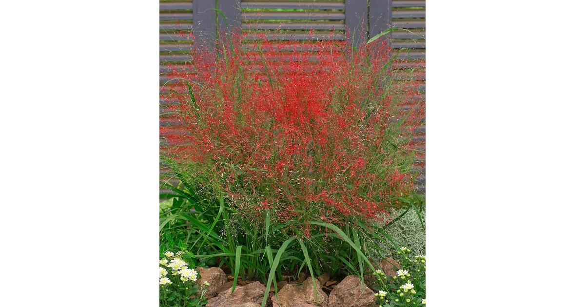 Rotes Liebesgras 3 Pflanzen Eragrostis Spectabilis Online Kaufen