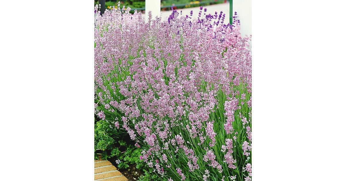 Duft-Lavendel \'Rosa\', 3 Pflanzen Lavandula angustifolia online ...