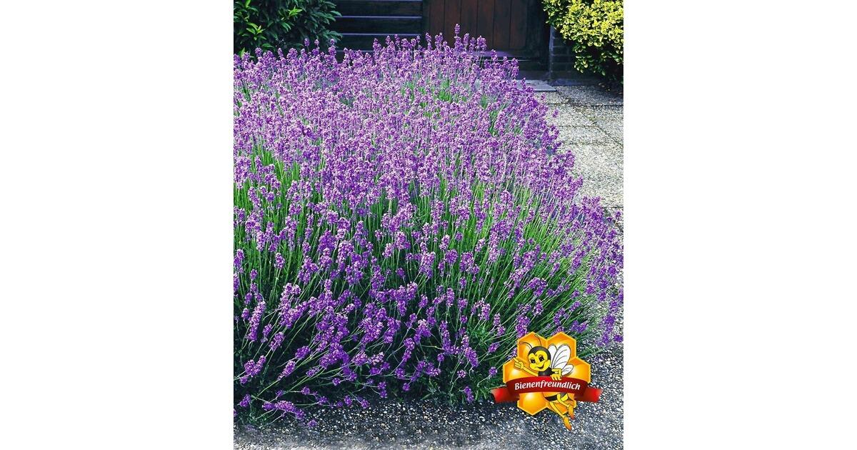 winterharte stauden lavendel hecke 39 blau 39 9 pflanzen lavandula angustifolia munstead online. Black Bedroom Furniture Sets. Home Design Ideas