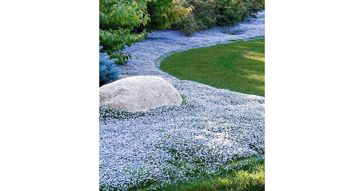 winterharter bodendecker isotoma 39 blue foot 39 3 pflanzen online kaufen die moderne hausfrau. Black Bedroom Furniture Sets. Home Design Ideas