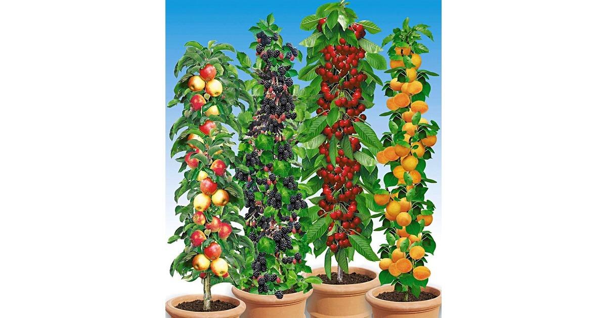 s ulen obst rarit ten kollektion apfel brombeere kirsche aprikose 4 pflanzen obstb ume. Black Bedroom Furniture Sets. Home Design Ideas