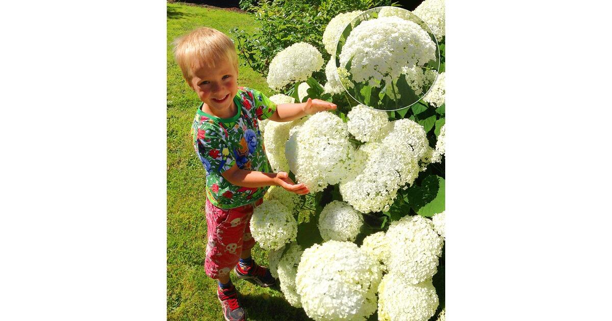 schneeball hortensie annabelle 1 pflanzen online kaufen die moderne hausfrau. Black Bedroom Furniture Sets. Home Design Ideas