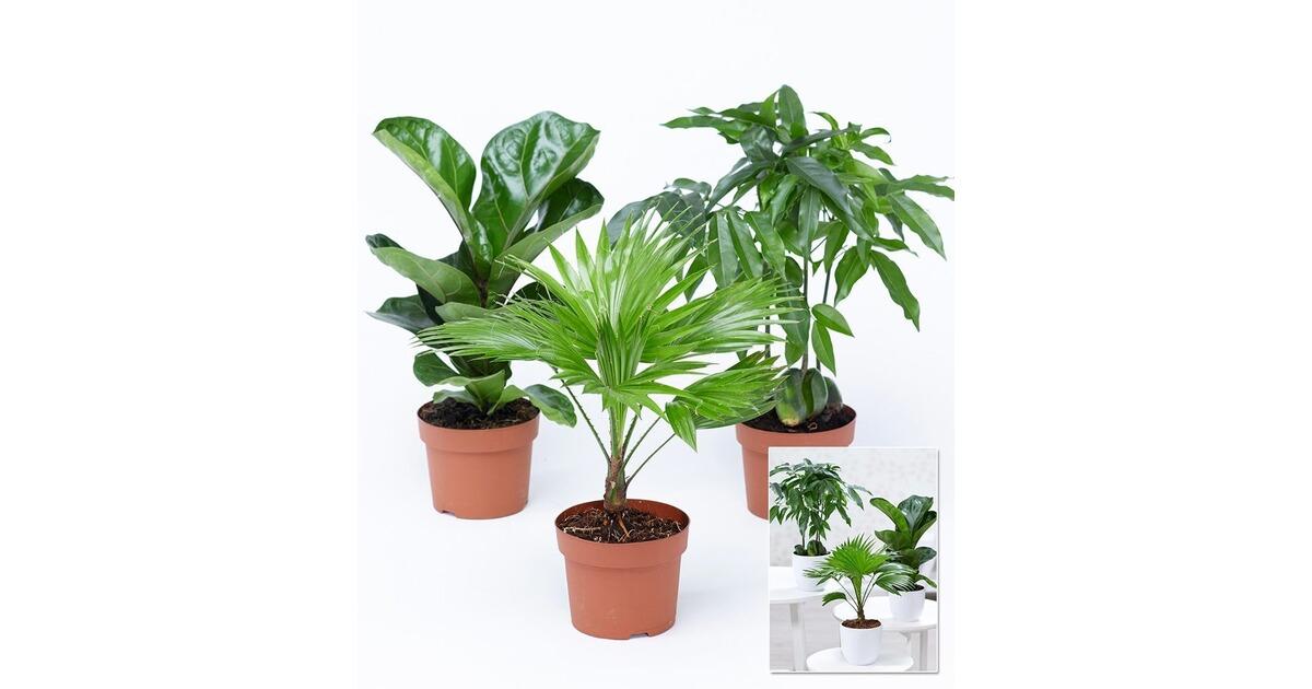zimmerpflanzen mix royal 3 pflanzen online kaufen die. Black Bedroom Furniture Sets. Home Design Ideas