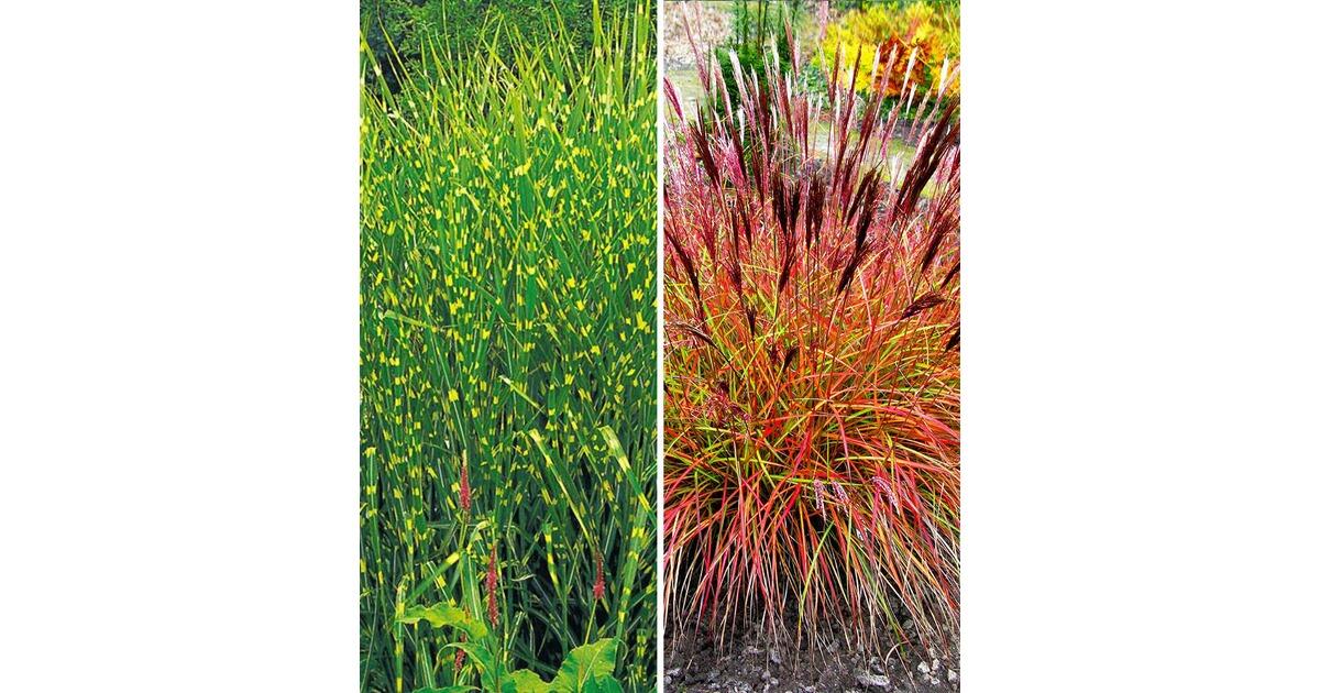 Gräser-Kollektion,2 Pflanzen