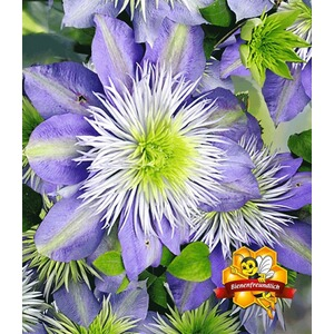 BALDUR-GartenWaldrebe Clematis 'Crystal Fountain TM', 1 Pflanze 1