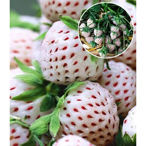 wei e ananas erdbeere 39 natural white 39 3 pflanzen 1 pflanze senga sengana fragaria online. Black Bedroom Furniture Sets. Home Design Ideas
