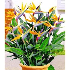 Paradiesvogel-Blume Strelitzie,1 Pflanze Strelitzia reginae online ...