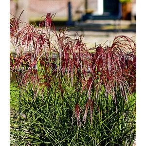 "Miscanthus ""Red Cloud®"",1 Pflanze"