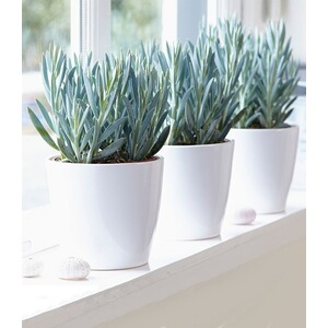 "Senecio Aquarine® ""Mount Everest"",1 Pflanze"