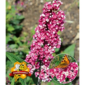 "BALDUR-Garten  Buddleia ""Berries and Cream®"",1 Pflanze"