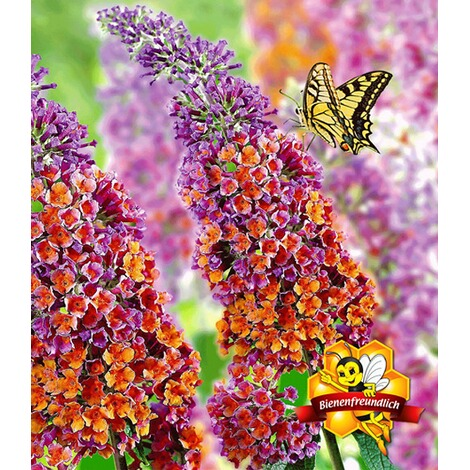 "BALDUR-GartenBuddleia ""Flower Power®"";1 Pflanze 1"