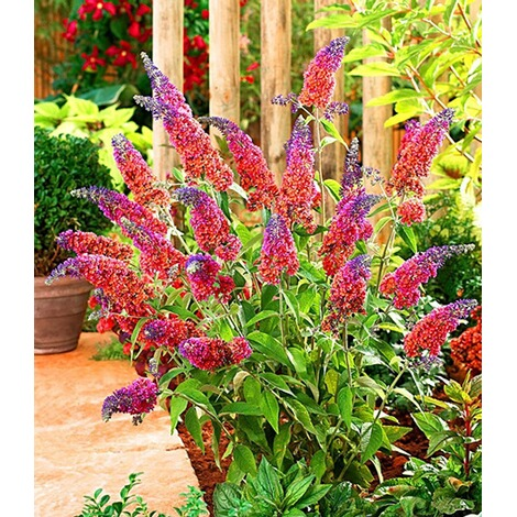 "BALDUR-GartenBuddleia ""Flower Power®"";1 Pflanze 2"