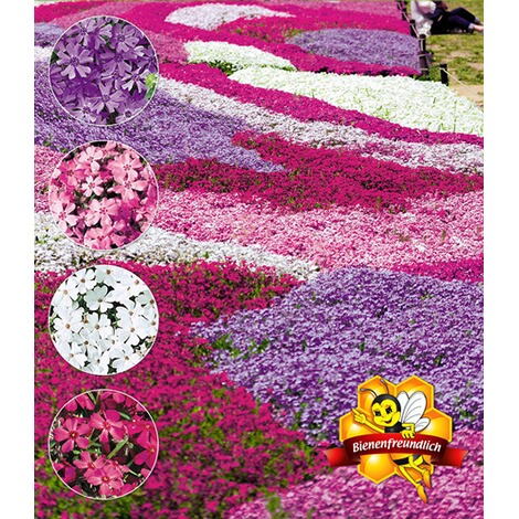 "BALDUR-GartenPhlox-Mix ""Flowers of the Sea"",4 Pflanzen 1"