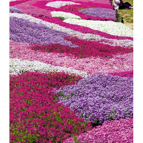 "BALDUR-GartenPhlox-Mix ""Flowers of the Sea"",4 Pflanzen 2"