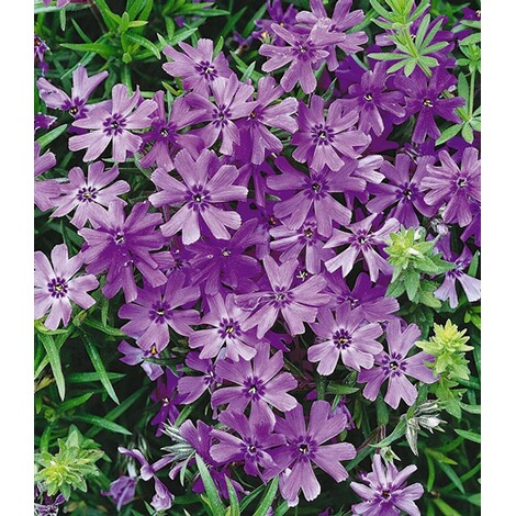 "BALDUR-GartenPhlox-Mix ""Flowers of the Sea"",4 Pflanzen 3"