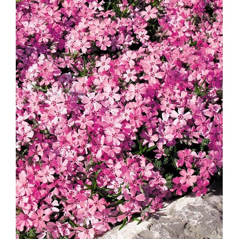 "BALDUR-GartenPhlox-Mix ""Flowers of the Sea"",4 Pflanzen 4"