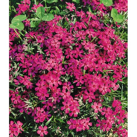 "BALDUR-GartenPhlox-Mix ""Flowers of the Sea"",4 Pflanzen 6"