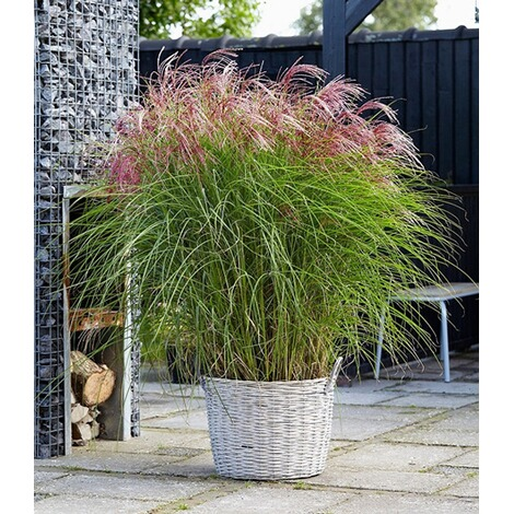 "BALDUR-GartenMiscanthus ""Red Cloud®"",1 Pflanze 1"