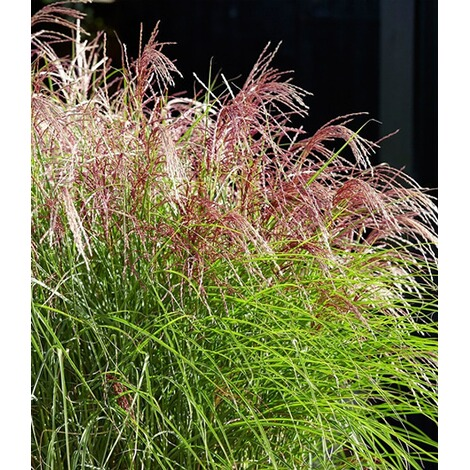 "BALDUR-GartenMiscanthus ""Red Cloud®"",1 Pflanze 2"