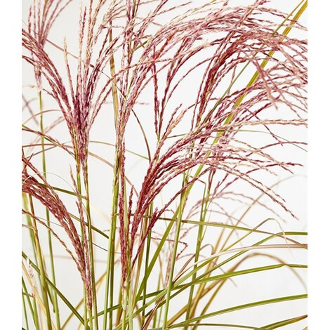 "BALDUR-GartenMiscanthus ""Red Cloud®"",1 Pflanze 3"