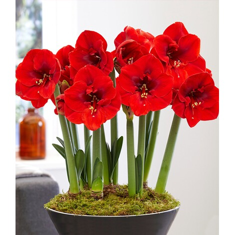 "Amaryllis ""Red Lion"",1 St. 1"