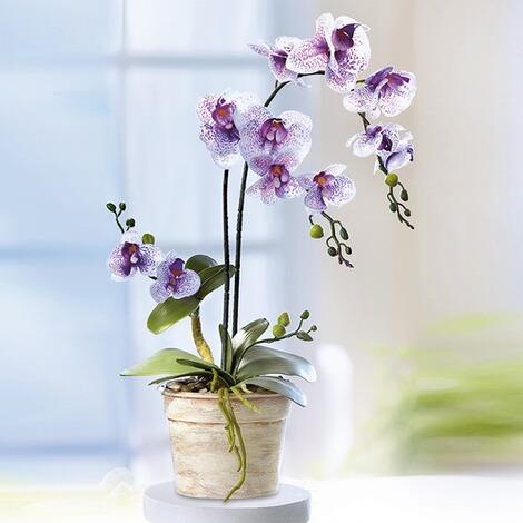 Orchideen zauber online kaufen die moderne hausfrau orchideen zauber 2 altavistaventures Images