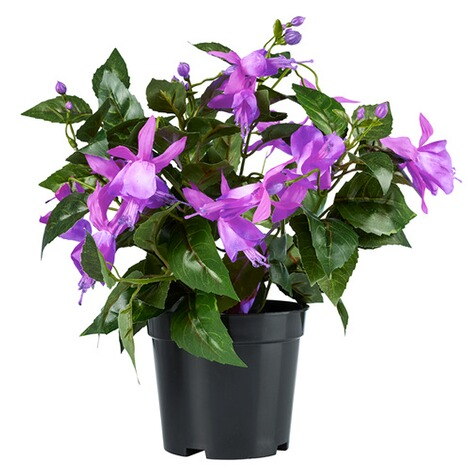 Fuchsia in pot  paars 1