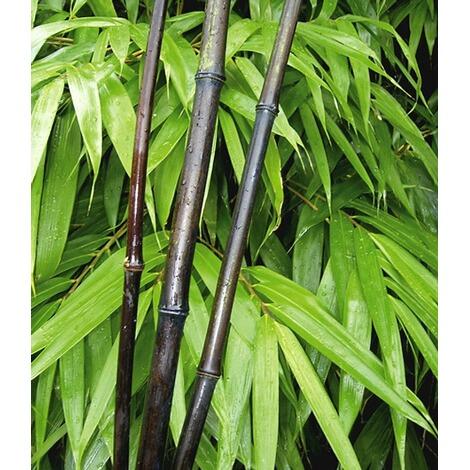 Schwarzer Bambus Black Bamboo 1 Pflanze Phyllostachys Nigra