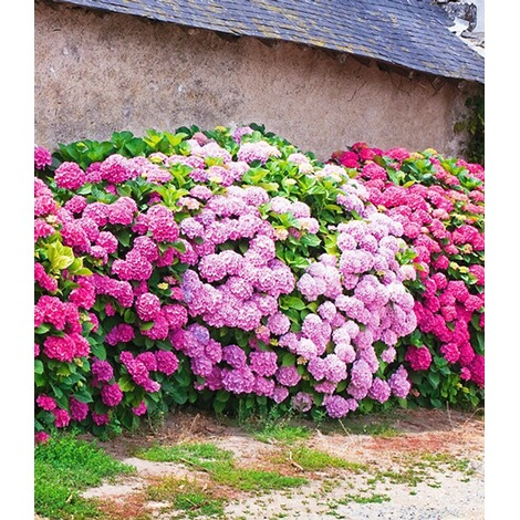 freiland hortensien hecke 39 pink ros 39 rosa bauernhortensie 3 pflanzen hydrangea online kaufen. Black Bedroom Furniture Sets. Home Design Ideas