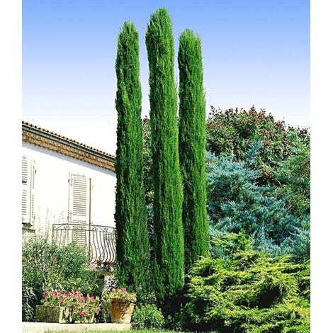 echte toskana 39 s ulen zypressen 39 1 pflanze cupressus sempervirens pyramidalis online kaufen. Black Bedroom Furniture Sets. Home Design Ideas