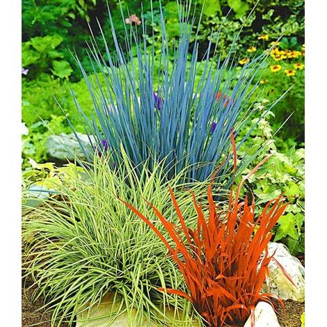 ziergraser winterhart ziergras farb mischung 3 pflanzen imperata cylindica festuca glauca carex ashimens 1 sichtschutz