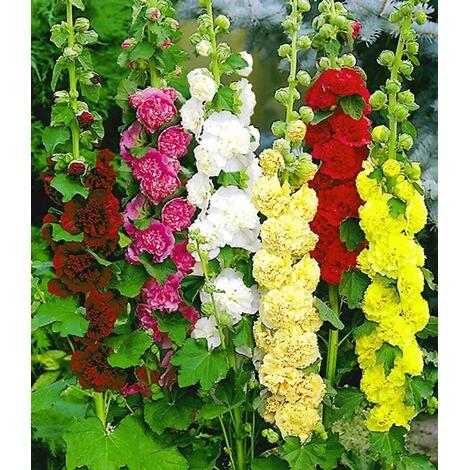 stockrosen malven mischung 3 pflanzen alcea rosea 39 pleniflora 39 online kaufen die moderne hausfrau. Black Bedroom Furniture Sets. Home Design Ideas