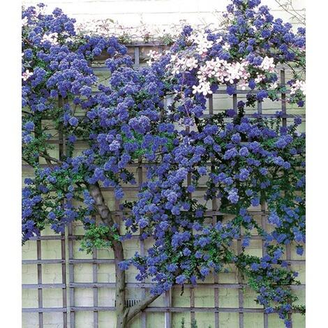 immergr ne s ckelblume ceanothus 39 trewithen blue 39 1 pflanze online kaufen die moderne hausfrau. Black Bedroom Furniture Sets. Home Design Ideas