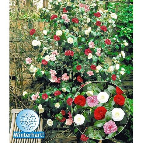 Winterharte Garten Kamelie Tricolor 1 Pflanze Camellia Japonica