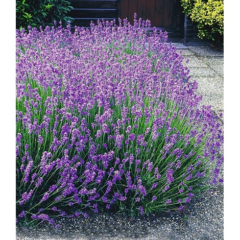 winterharte stauden lavendel hecke 39 blau 39 9 pflanzen lavandula angustifolia munstead online. Black Bedroom Furniture Sets. Home Design Ideas