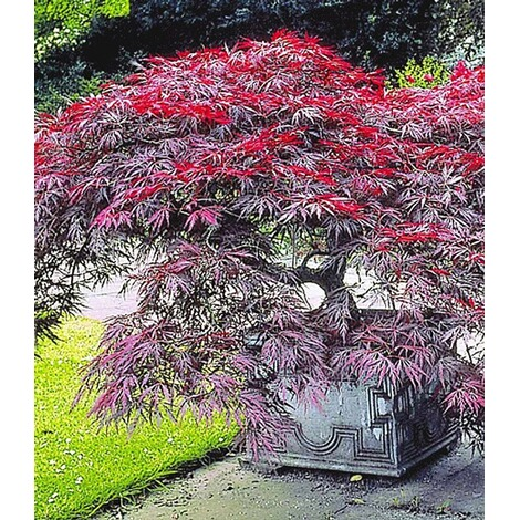 japanischer ahorn 39 burgund 39 1 pflanze acer palmatum. Black Bedroom Furniture Sets. Home Design Ideas
