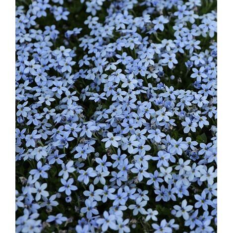 winterharter bodendecker isotoma 39 blue foot 39 3 pflanzen. Black Bedroom Furniture Sets. Home Design Ideas