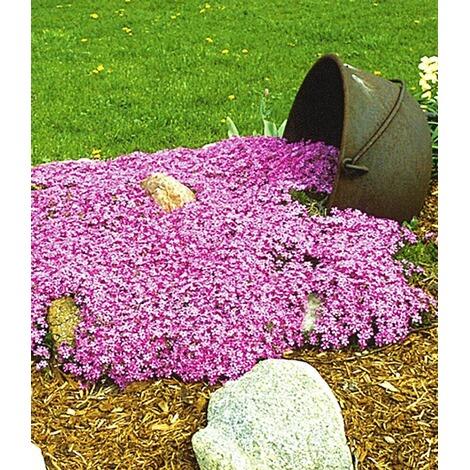 Gemeinsame Teppichphlox Emerald Pink winterharter Bodendecker 9 Pflanzen @OB_49