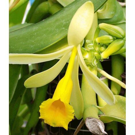 echte vanille pflanze 1 topf vanilla planifolia orchidee online kaufen die moderne hausfrau. Black Bedroom Furniture Sets. Home Design Ideas