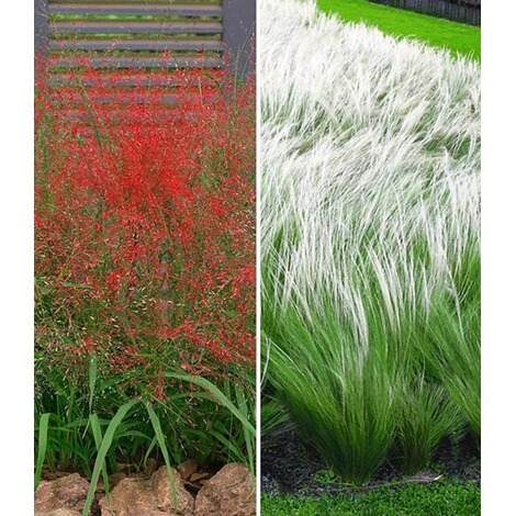 Ziergras Kollektion 6 Pflanzen 3 Rotes Liebesgras Und Federgras Stipa