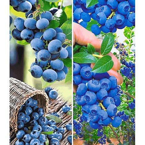 Super Heidelbeer-Sortiment Trauben-Heidelbeere Reka® und Heidelbeere &BL_28