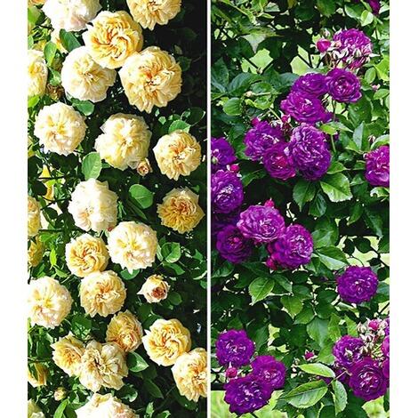 rambler rosen sortiment christine helene und bleu magenta 2 pflanzen online kaufen die. Black Bedroom Furniture Sets. Home Design Ideas