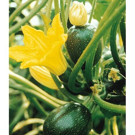 veredelte zucchini eight ball f1 2 pflanzen cucurbita pepo online kaufen die moderne hausfrau. Black Bedroom Furniture Sets. Home Design Ideas