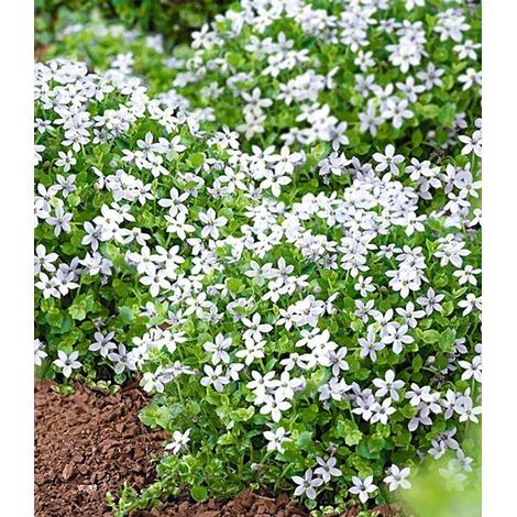 Weisse Winterharte Isotoma White Splash 3 Pflanzen Bluhender