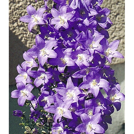 winterharte solidora blaue aida 1 pflanze campanula pyramidalis glockenblume online kaufen. Black Bedroom Furniture Sets. Home Design Ideas
