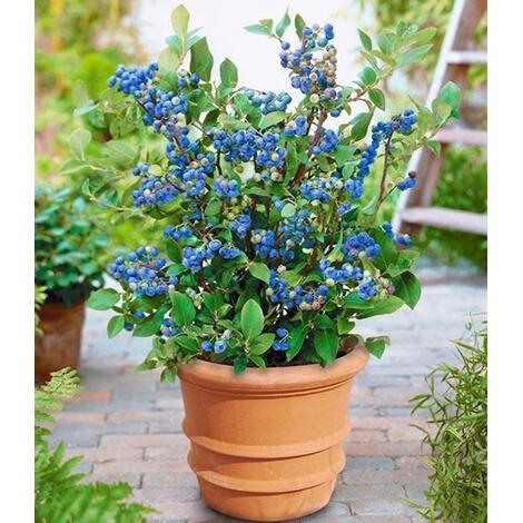 Topf Heidelbeere,1 Pflanze Vaccinium Corymbosum Heidelbeere Für Töpfe Und  Kübel 1 ...