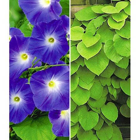 Winterharte Kletterpflanzen winterharte kletterpflanzen kollektion 2 pflanzen trichterwinde und
