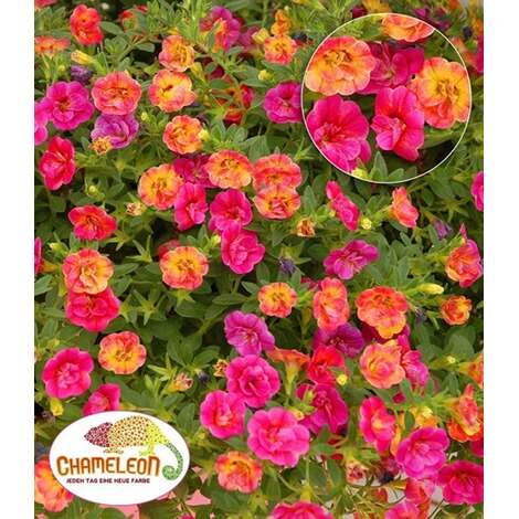 zaubergl ckchen chameleon double pink yellow 3 pflanzen. Black Bedroom Furniture Sets. Home Design Ideas