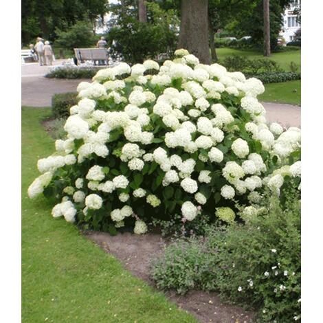 Hortensie Annabell schneeball hortensie annabelle 1 pflanzen kaufen die